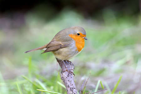 Extra close up portrait of an European robin (Erithacus rubecula) sits on a branch on nice blurred background