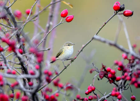 A common chiffchaff sitting on a branch of a wild rose bush surrounded by red berries