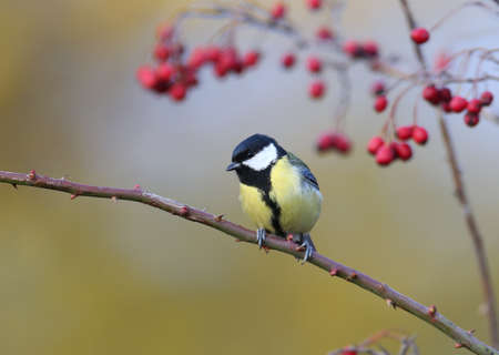 Great tit sits on a curved rosehip branch next to hawthorn berries