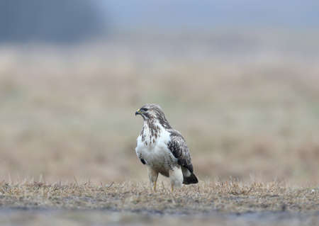 Close-up portrait of a common buzzard sitting on the ground in the pouring rain