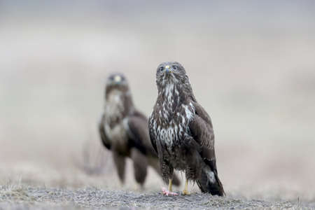 Close-up portrait of a common buzzard sitting on the ground with a  rain