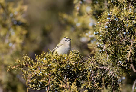 Funny photo goldcrest (Regulus regulus) sits on the branches of juniper 版權商用圖片