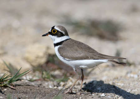 Little ringed plover male in breeding plumage standing on sand close up