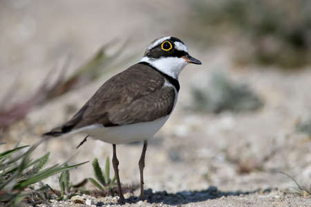 Little ringed plover male in breeding plumage standing on sand close up Standard-Bild - 122746943