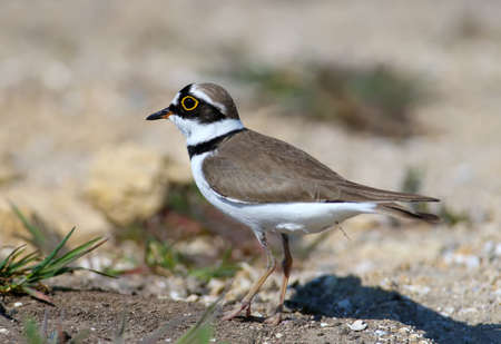 Little ringed plover male in breeding plumage standing on sand close up Standard-Bild - 122746944