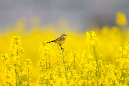 Different wagtails sit on incredibly yellow rapeseed branches beautiful pictures