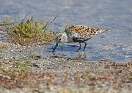 Close-up photo of dunlin in blue water of estuary being fed