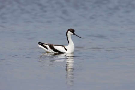 Lonely pied avocet (Recurvirostra avosetta) swims in shallow water in search of food 写真素材