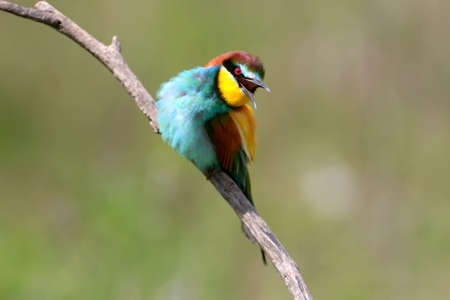 Portraits of bright and saturated color of European bee-eaters taken on a blurred beautiful background.