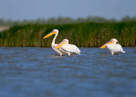 Groups of white pelicans are photographed standing in the water against the background of green aquatic plants. Close-up and detailed photos of these magnificent birds