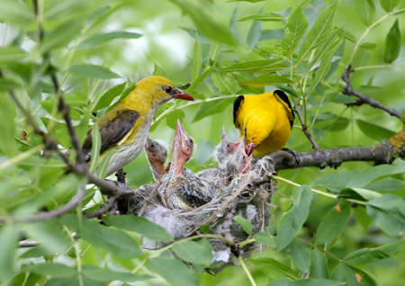Unique shots of feeding chicks by both parents Oriole simultaneously. Male and female close up. 免版税图像