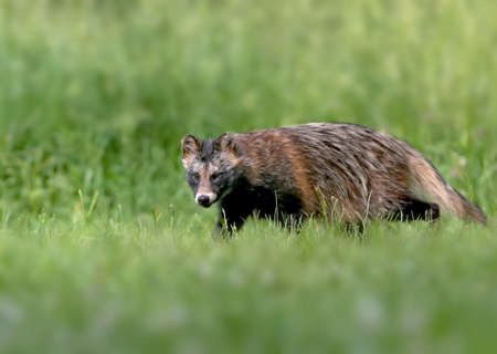 Close-up and detailed photos of The raccoon dog (Nyctereutes procenoides) are walking on the ground in search of food