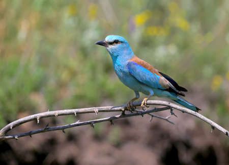 Close-up and vivid photos of the European roller (Coracias garrulus) are sitting on a branch on a beautiful blurred background. Bright colors and detailed pictures Imagens