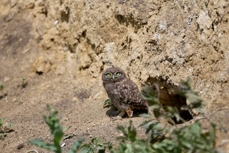 The little owl chicks are photographed in different funny situations after leaving the nest. They study the world around them with curiosity.