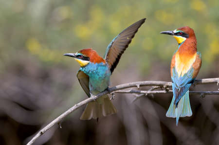 European bee-eaters shot on a blurred color background Imagens