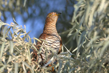 close-up portrait of a female cuckoo unusual red morph sits in the leaves of a tree