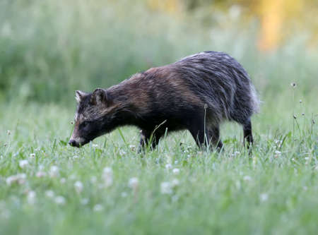 Close-up and detailed photos of The raccoon dog (Nyctereutes procenoides) are walking on the ground in search of food Stock Photo