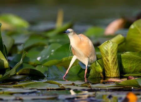 The squacco heron (Ardeola ralloides) stands on the leaves of aquatic plants and looks out for its prey in the rays of soft morning light. Stockfoto