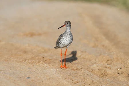 Close-up and detailed photo of the common redshank or simply redshank (Tringa totanus) stands on the ground and looks at the photographer. Bright colors and breeding plumage details
