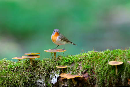 Male red-breasted flycatcher (Ficedula parva) poses on a moss-covered log of mushrooms. Unusual close-up and soft light photos in full color.