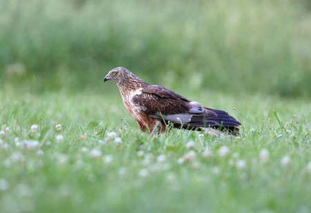 The male The western marsh harrier (Circus aeruginosus) sits on the ground among thick grass. Close-up and detailed photos