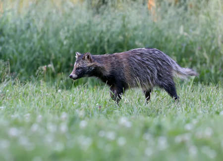 Close-up and detailed photos of The raccoon dog (Nyctereutes procenoides) are walking on the ground in search of food Imagens