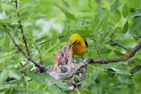 Rare and unusual feeding shots of the oriole chicks  by the adult orioles Imagens