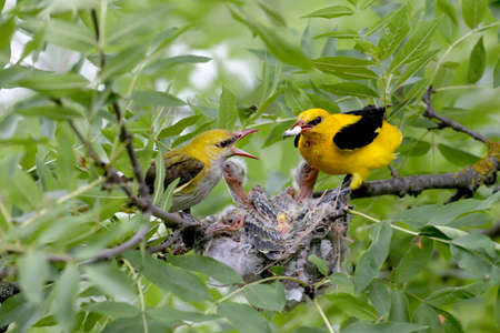Unique shots of feeding chicks by both parents Oriole simultaneously. Male and female close up. Imagens
