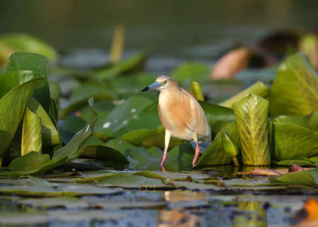 The squacco heron (Ardeola ralloides) stands on the leaves of aquatic plants and looks out for its prey in the rays of soft morning light. Imagens