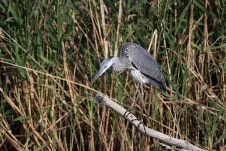 A young gray heron (Ardea cinerea) stands on a log by the river and looks out for prey. Close-up and detailed photo Imagens