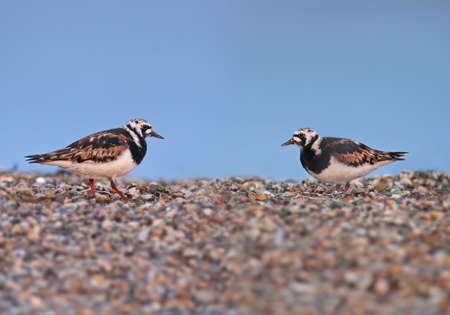 Single birds and small flocks of ruddy turnstone (Arenaria interpres) in breeding plumage are photographed on the lake in a natural habitat.