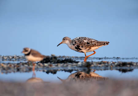 The ruff (Calidris pugnax) and ringed plover (Charadrius hiaticula) photographed together on the estuary Imagens