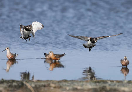 Two ruddy turnstone (Arenaria interpres) in breeding plumage are photographed in flight against the background of feeding in water curlew sandpiper (Calidris ferruginea)