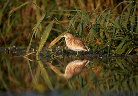 Young squacco heron (Ardeola ralloides) shot in soft morning light close-up on a fish hunt