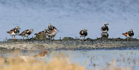 small flocks of ruddy turnstone (Arenaria interpres) in breeding plumage are photographed on the lake in a natural habitat. Imagens