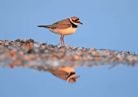 The common ringed plover or ringed plover (Charadrius hiaticula) close-up portrait with reflection in the water Imagens