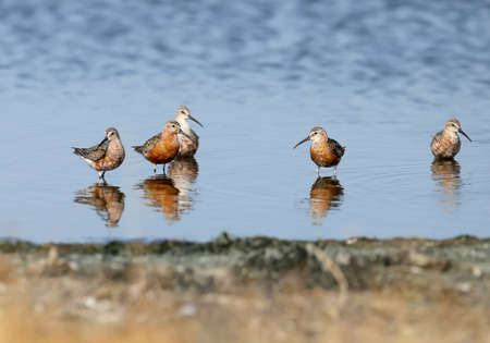 Curlew sandpiper (Calidris ferruginea) group photographed with reflection in blue water