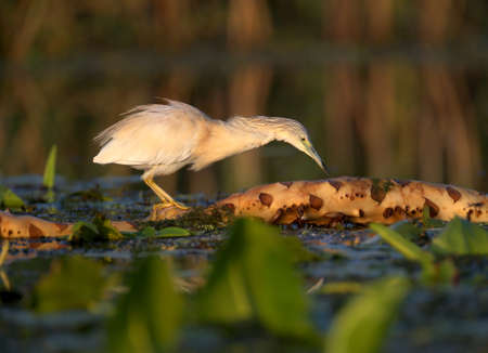 Adult squacco heron (Ardeola ralloides) shot in soft morning light close-up on a fish hunt Imagens
