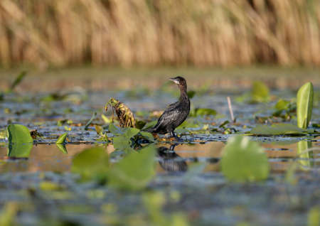 A single pygmy cormorant (Microcarbo pygmaeus) shot in soft morning light stands on the leaves of aquatic plants and poses for the photographer Imagens