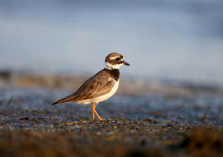 The young common ringed plover or ringed plover (Charadrius hiaticula) is filmed in the soft morning light on the shore of a salty estuary. Close-up and detailed photo. The bird is looking directly into the camera lens