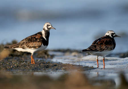 A close-up photo of a ruddy turnstone (Arenaria interpres) lonely and a pair taken in the soft morning light on the banks of a salty estuary.