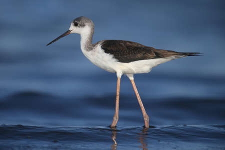A very close-up of a young black-winged stilt (Himantopus himantopus) photographed against a background of blue estuary water. Detailed and vivid color photo.