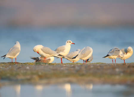 The black-headed gull (Chroicocephalus ridibundus) group cleans plumage on the sandy shore of the estuary. Soft morning light and full color photos Stok Fotoğraf