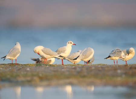 The black-headed gull (Chroicocephalus ridibundus) group cleans plumage on the sandy shore of the estuary. Soft morning light and full color photos Imagens