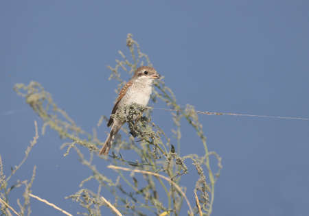 young red-backed shrike (Lanius collurio) sits on a bush of thin grass against a blue sky. Unusual web thread looks like a tethered bird