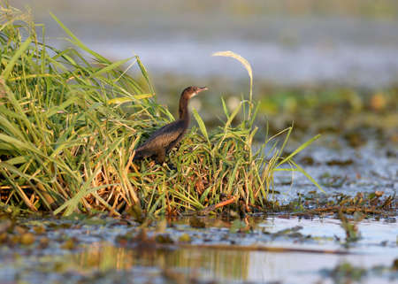The pygmy cormorant (Microcarbo pygmaeus) stands on the leaves of aquatic vegetation in the rays of the soft morning sun