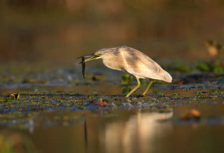 squacco heron (Ardeola ralloides) in the winter plumage filmed in soft morning light. Keeps in its beak caught prey - a large loach. Unusual angle and close-up photo