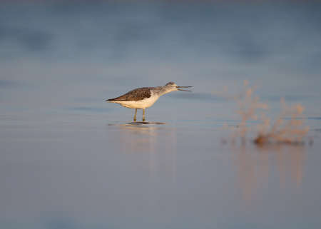The common greenshank (Tringa nebularia) photographed in the blue water of the bay in soft morning light in a funny pose