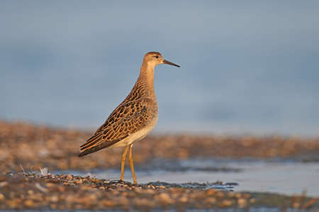 The ruff (Calidris pugnax) in winter plumage filmed in the rays of soft morning light. Close-up and detailed photo
