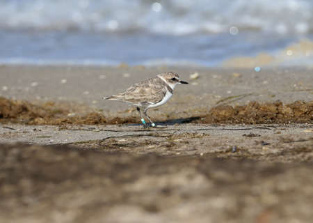 Female Kentish plover (Charadrius alexandrinus) in winter plumage with several ringed legs Stok Fotoğraf